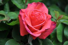 PREMIERE ROSE
