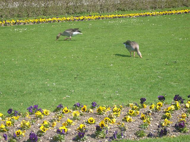 Gänse im Schlosspark