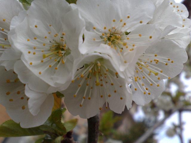 Flores de cerezo.
