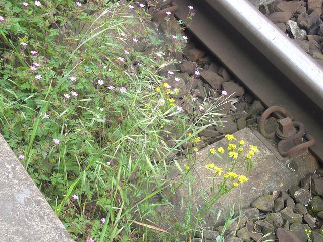 Wildblumen amGleis-3