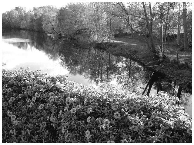 Reflet de rivière et fleurs de rive / River reflection and bank flowers - Ängelholm / Suède / Sweden.  23 octobre 2008 -  N  & B