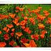 Orange Poppy (2)