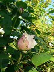 die ersten Rosen des Jahres