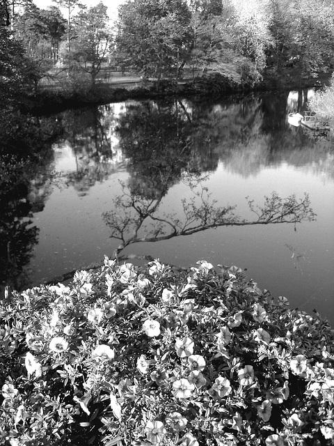Reflet de rivière et fleurs de rive / River reflection and bank flowers - Ängelholm / Suède / Sweden.  23 octobre 2008-  N & B
