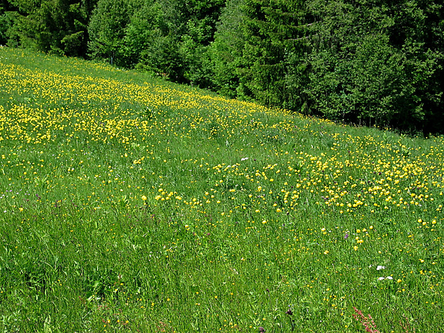 Trollblumenwiese