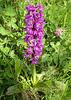 männliches Knabenkraut / Orchis mascula