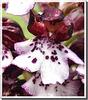 Orchis purpurea (détail)