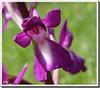 Orchis laxiflora (détail)