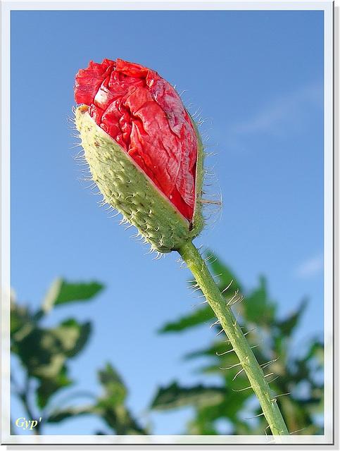 Papaver rhoeas (bouton floral)