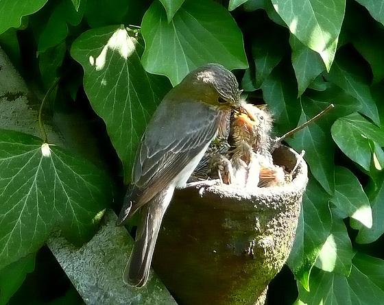 Fütterung - Gartengrasmücken