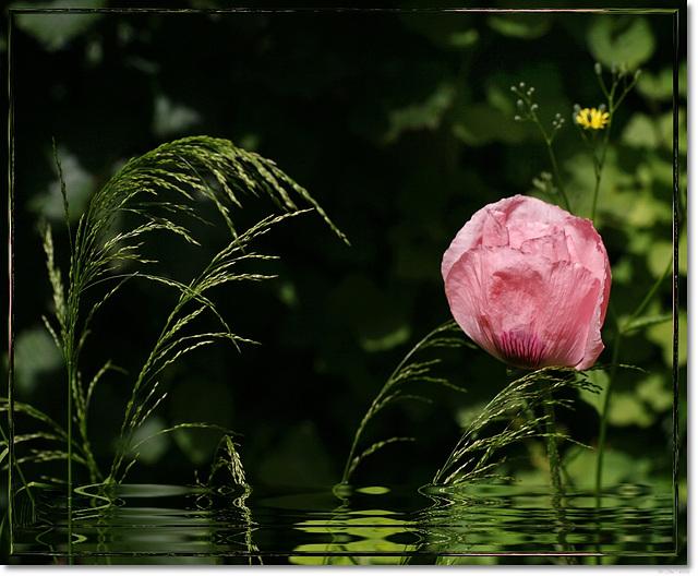 ~pink poppy~