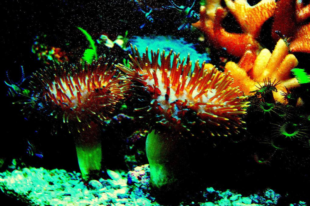 koraloj