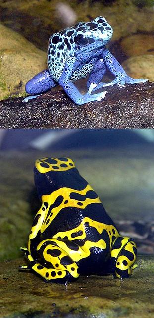 Amphibiens en déclin... Venimeuses au Brésil