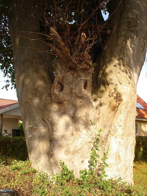 Arbre fantôme / Ghost tree.  Båstad  / Suède - Sweden.   Octobre 2008