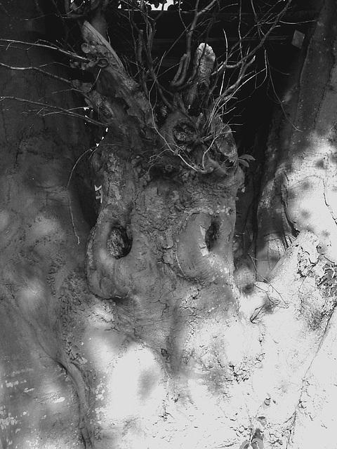 Arbre fantôme / Ghost tree.  Båstad  / Suède - Sweden.   Octobre 2008  - N & B