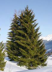 Voyage en forêt : Picea abies