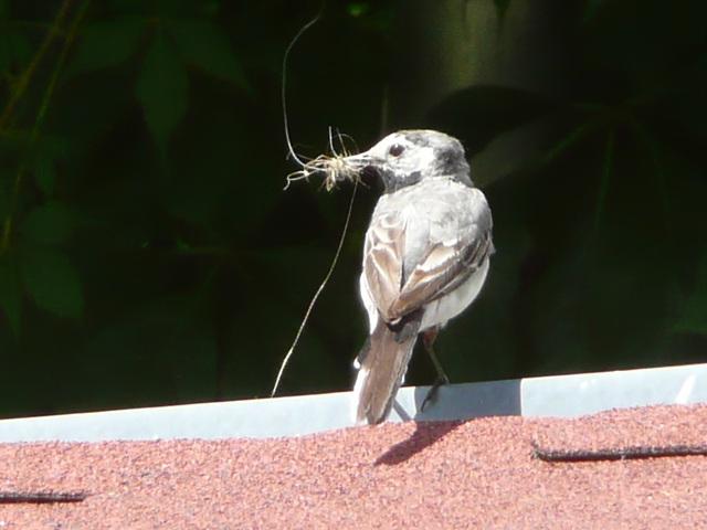 Bachstelze - motacilo - Bergeronette - ballerina - wagtail