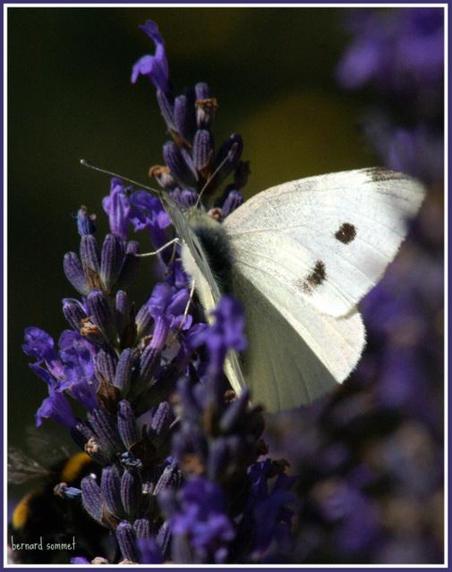 Un p'tit blanc - 1238b