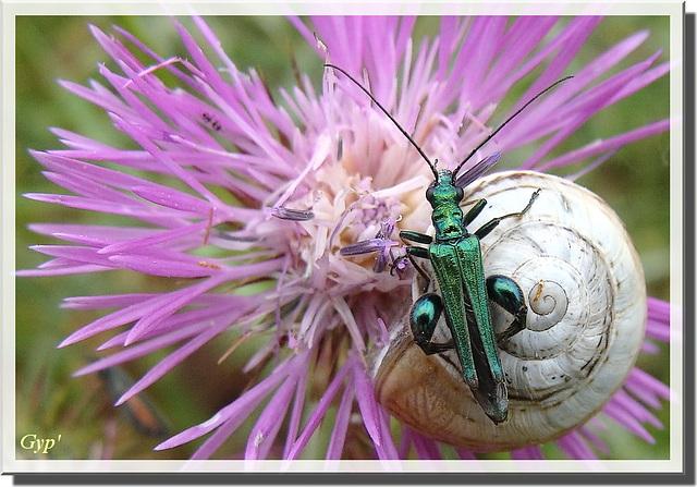 Oedemera nobilis mâle
