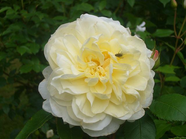 Yellow Romantica