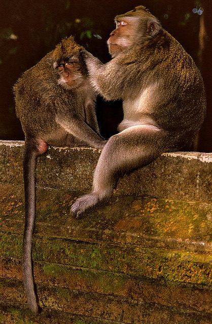 Macaques are to delouse each other