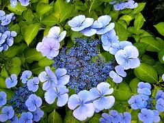 Très fleur bleue ...