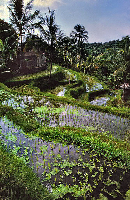 Balinese paddy terraces