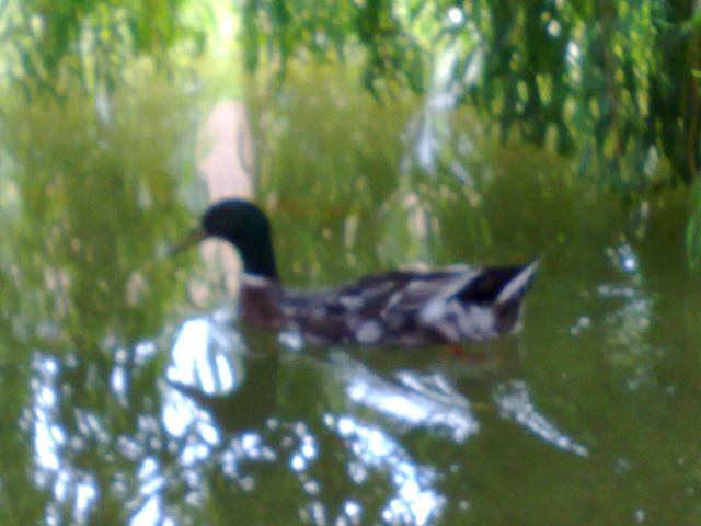Pato en el estanque.