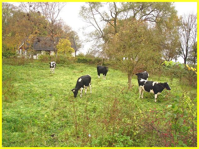Troupeau de vaches  / Cows herd. - Båstad /  Suède - Sweden.  Octobre 2008