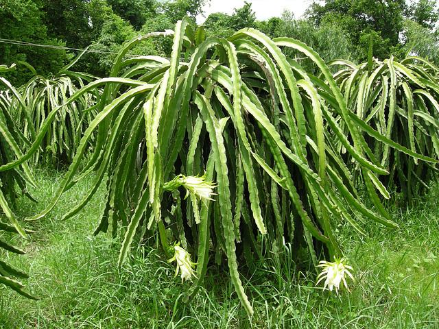 Drachenfruchtpflanze