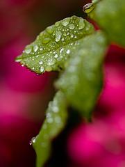 Feuilles d'une rose