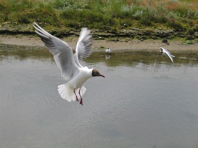 seagull looking for food