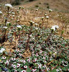 Desert Flowers (2441)
