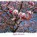 Apfelblüte(2)