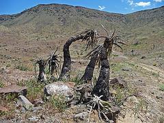 Yuccas (4085)