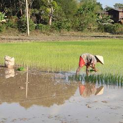Lao Rice planting