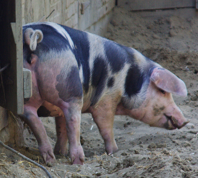 nein nein sprach das Schwein