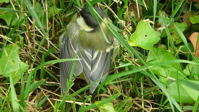 Kohlmeise - aus dem Nest gefallen