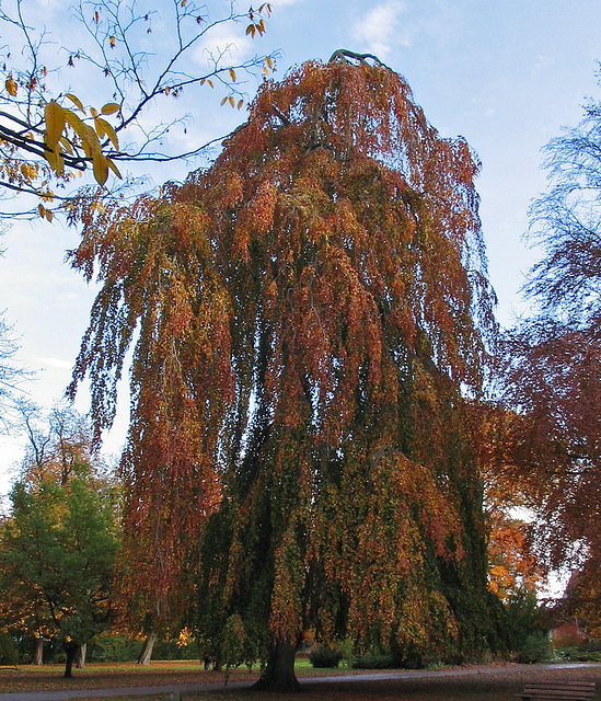 Hêtre pleureur en automne, Allemagne