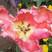 Tulipe dentelée