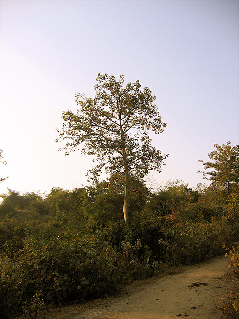 Gracile tree in the hills