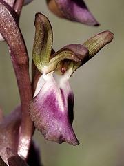 Hügelknabenkraut (Orchis collina) 2