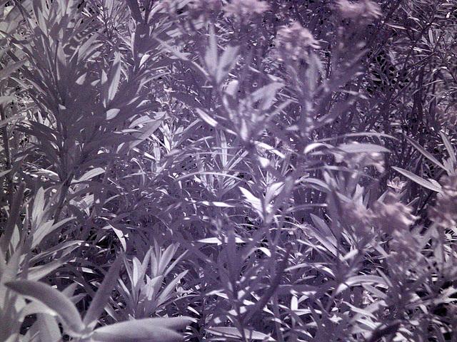 Oleander (0004)