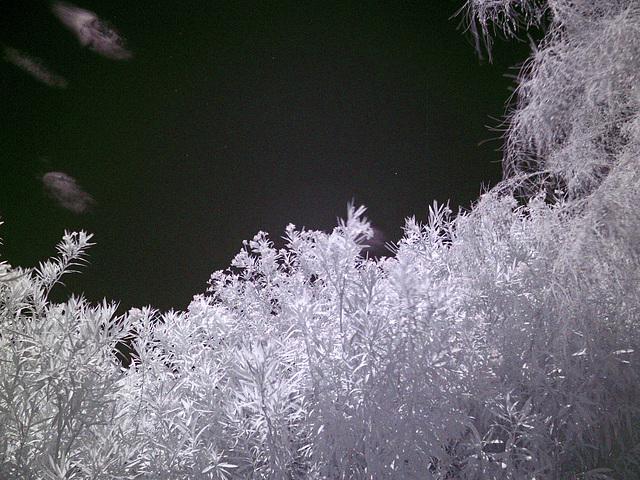 Oleander - Palo Verde - Sky (0003)