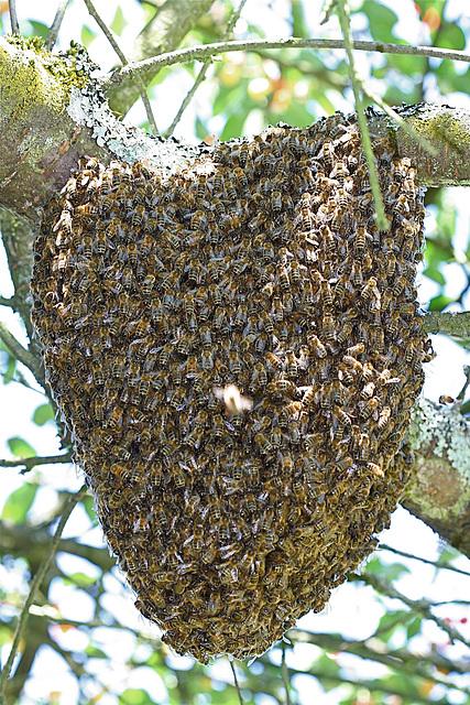 essaim d abeille