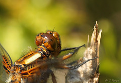 Broad-bodied Chaser Face