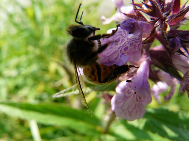 juillet  abeille butinant