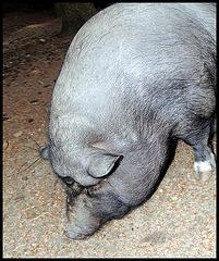 Hängebauchschwein / pot-bellied pig