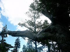 Mélèze millénaire, Chili