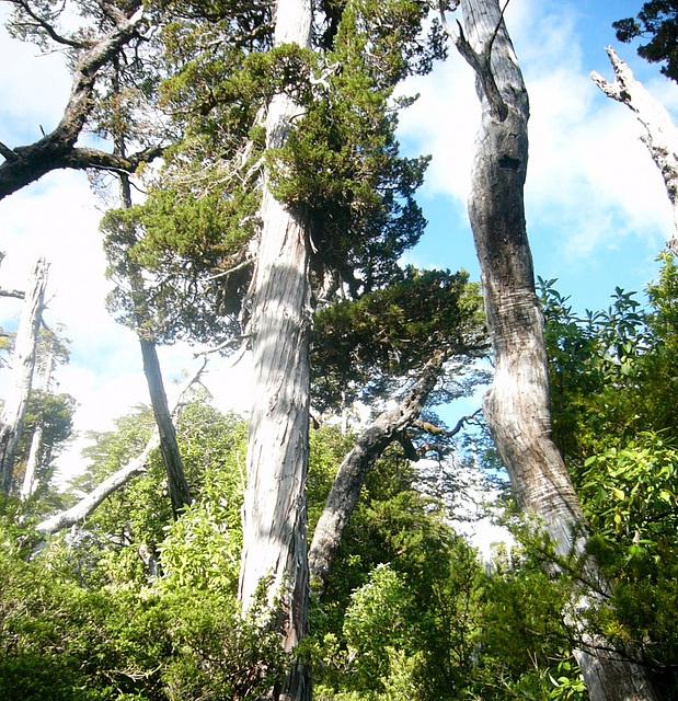 Mélèze gigantesque, Chili